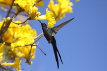 Swallow-tailed Hummingbird feeding on the bright yellow flowers of a Trumpet Tree