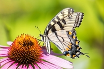 Swallowtail drinking from echinacea Washington CT