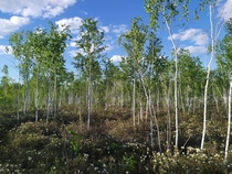 Swamp forest Ryam in siberia
