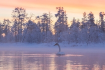 Swan during a winter sunset Muonio Finland