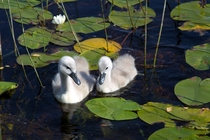 Swanlings Cygnus olor in southern Norway
