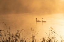 Swans on a misty lake Photo credit to TheOtherKev