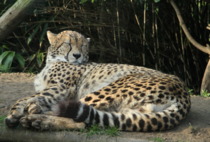 Sweet Dreams - Cheetah Acinonyx jubatus