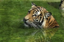 Swimming Malayan Tiger
