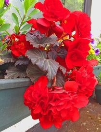 Switzerland Dark Leaf Red Begonia  Chesham In Bloom Buckinghamshire July