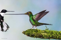 Sword-billed Hummingbird by Jan van der Greef