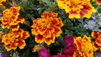 Tagetes patula AKA French marigold in Glenwood Springs CO