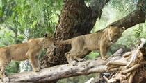 Tail Pull Lion Cubs Panthera leo