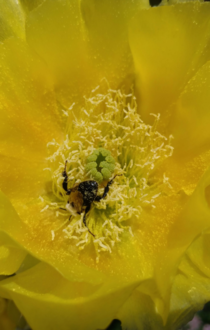 Taking a facedive into the anthers of a prickly pear cactus flower