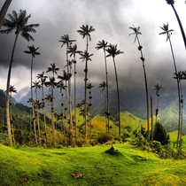 Tallest palms on the planet in the Cocora Valley Colombia