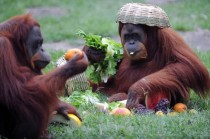 Tanga a Sumatran Orangutan Pongo Pygmaeus Abelli enjoys some fruit after receiving a Christmas hamper at the Rio de Janeiro zoo Brazil on December