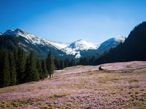 Tatra Mountains in Poland and field full of crocuses