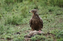 Tawny eagle Aquila rapax with kill in the rain in Serengeti NP Tanzania