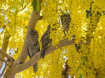 Tawny Frogmouths perched in a tree in Queensland Australia Photo by Malcolm C