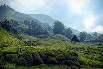 Tea Fields in Cameron Highlands Malaysia