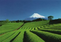 Tea fields with a majestic view of Mt Fuji Japan