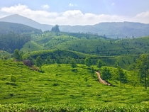 Tea Leaf Farming - Kerala India