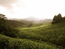 Tea Plantation in the Cameron Highlands Malaysia
