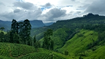 Tea Plantations Nuwara Eliya Sri Lanka