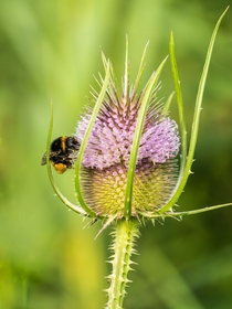 Teasel flower Dipsacus fullonum with bumblebee