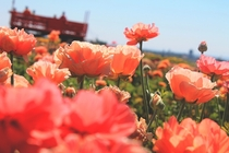 Tecolote Giant Ranunculus The Flower Fields Carlsbad CA