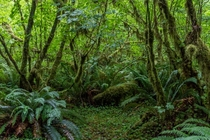 Temperate Rainforest of the Pacific Northwest - Olympic National Park Washington