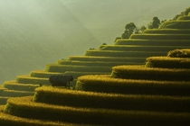 Terraced Rice Fields in Vietnam by Saravut Whanset