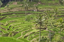 Terraced rice fields of Ubud - Ubud Bali