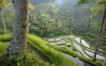 Terraced Rice Paddies in Bali Indonesia