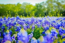 Texas Bluebonnets Lupinus texensis in Full Bloom