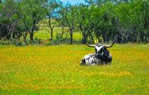 Texas Longhorn  by Ramachandran Kris