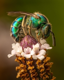 Texas Striped-Sweat bee Agapostemon texanus