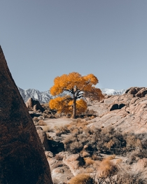 That one tree Alabama Hills  danedeaner
