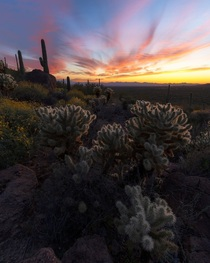 That sunset glow in Saguaro National Park Tucson AZ  IGandrewsantiago_