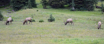 Thats Some Bullx Elk eating in Rocky Mountain National Park
