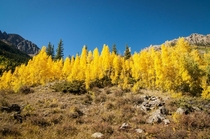 The actual color of the aspens near Aspen Colorado this time of year