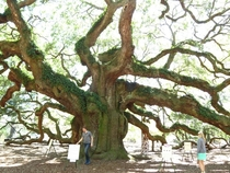 The Angel Oak - a southern Live Oak - with -foot Russian man for scale Charleston SC