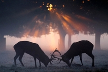 The annual deer rut in Richmond Park by Dan Kitwood