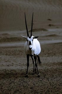 The Arabian oryx Oryx leucoryx or white oryx encountered outside of Dubai  photo by John Van Den Hende