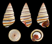 The Awesome Candy Cane Snail Liguus virgineus by H Zell   HI_Res link in comments