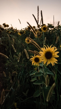 The backlighting on these sunflowers was just prime Taken in Harford County MD