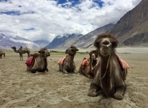 The Bactrian camels of Hundur in the vast Himalayan Nubra Valley in Jammu amp Kashmir