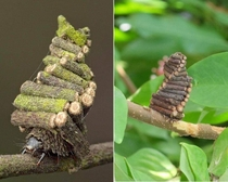 The Bagworm Moth Caterpillar collects and saws little sticks to construct elaborate log cabins to live in