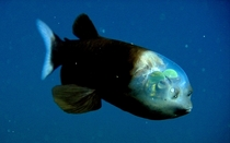 The Barreleye a deep-sea fish with eyes inside its transparent head