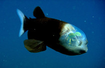 The Barreleye A fish that sees through its head Macropinna microstoma
