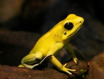 The beautiful Golden Poison Frog Phyllobates terribilis possibly the most poisonous living animal