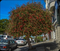 The beautifully unusual New Zealand Christmas tree found lining the streets of San Francisco