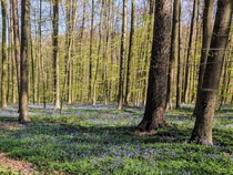 The Blue Forest Hallerbos Halle Belgium April
