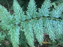 The blue iridescence of Selaginella wildenowii