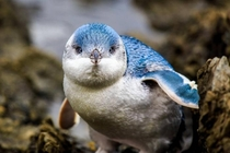 The blue penguin Eudyptula minor